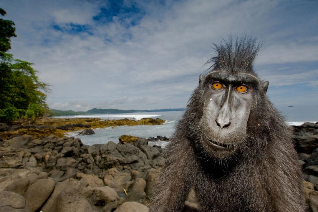 Black-crested macaque by Stefano Unterthiner.