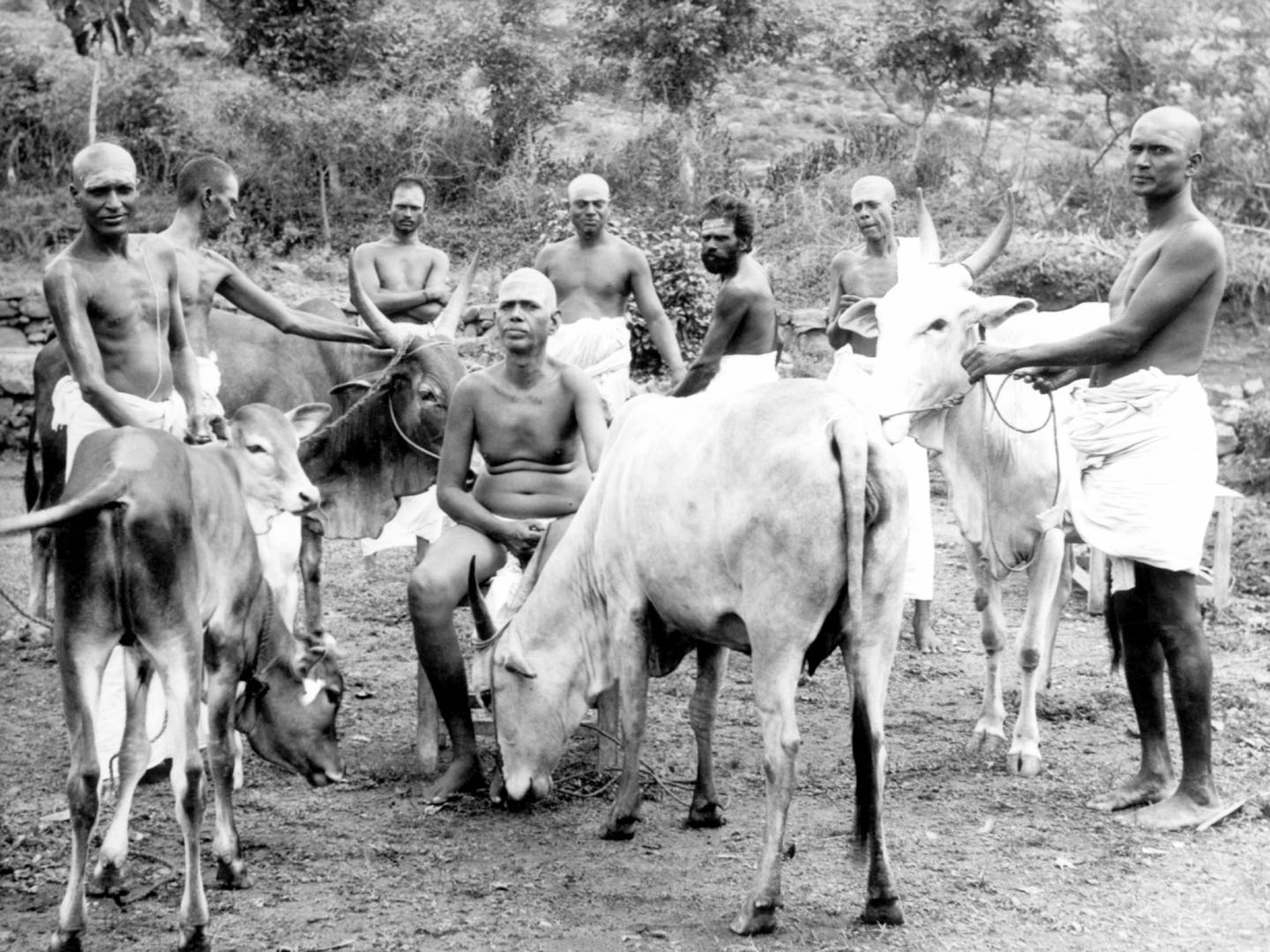 Ramana Maharshi with cows and devotees. Catalog number lm_09.