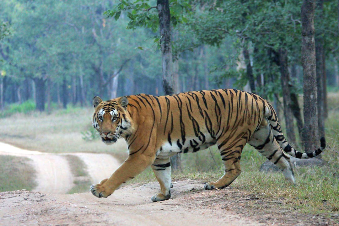 Tiger on road.  Courtesy Jim Corbett Visit.
